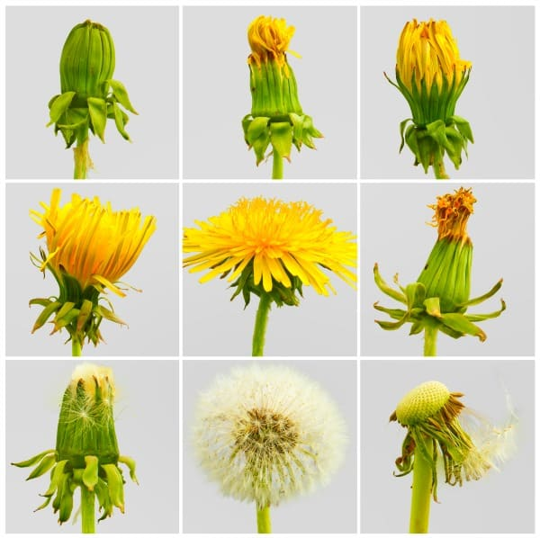 different pictures showing the Dandelions Life Cycle