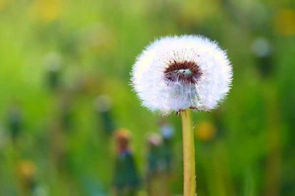 white dandelion puffball in a field