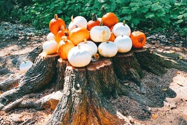 Ideas for Pumpkin Recipes and Pumpkin Activities for Kids white pumpkins and orange pumpkins sitting on a tree stump outdoors